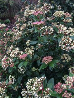 Spring Bouquet Viburnum (Viburnum tinus 'Spring Bouquet') offers compact, upright growth, ideal for hedges and screens. Blooms in the spring with pinkish white flowers. This evergreen shrub will grow feet tall and wide. Full sun or part shade. Evergreen Flowering Shrubs, Evergreen Flowers, Tall Shrubs, Shade Shrubs, White Flowers, Shade Evergreen, Flowering Plants, Shrubs For Landscaping, Garden Shrubs