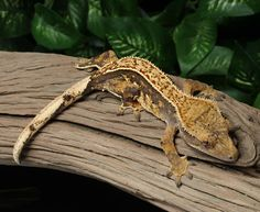 Crested Gecko for sale Bz65