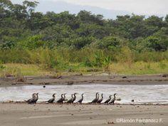 Neotropic Cormorant | Bird Watching Panama | Tranquilo Bay Eco Adventure Lodge | Birds