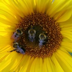 4 bee's bed down for a chilly night Sunflowers, Insects, Bee, Night, Animals, Animales, Animaux, Bees, Animal