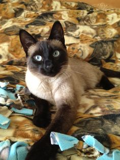Siamese Cat Gallery - Cat's Nine Lives Pretty Cats, Beautiful Cats, Animals Beautiful, Siamese Cats, Cats And Kittens, Animals And Pets, Cute Animals, Oriental Cat, Cat Breeds