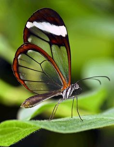 Glasswing butterfly - photos, Greta oto Nature Images, Nature Pictures, Animal Pictures, Marah Woolf, Butterfly Transformation, Mushroom Pictures, Butterfly Pictures, Unique Image, Beautiful Butterflies
