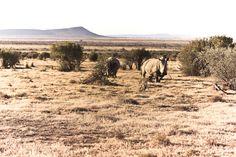 White rhino at Samara Karoo Lodge -South African safari http://www.portfoliocollection.com/go/Samara-Private-Game-Reserve