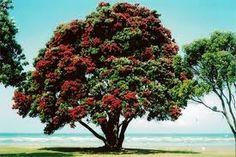 pohutakawa, the new zealand christmas tree Kiwiana, The Beautiful Country, Google Images, New Zealand, Christmas Tree, Garden, Plants, Trail, Beauty