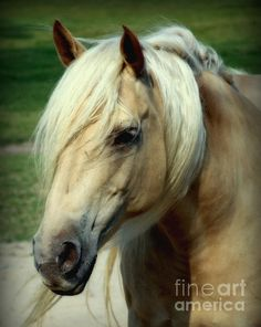 DREAMS of HONEY by KAREN WILESA soft equestrian artwork of a beautiful honey colored horse with a white manesoftly blowing in the wind.A horse to love. Friesian Horse, Palomino, Horse Head, Horse Art, Pretty Horses, Beautiful Horses, Black Arabian Horse, Horse Sketch, Photo Animaliere