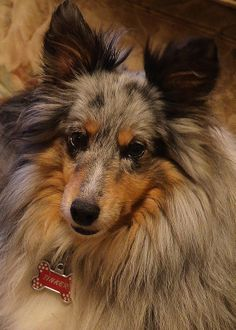 This sweet Sheltie looks a lot like Toby, my little guy.