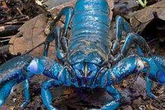 Es escorpión azul está en peligro de extinción y además de curar las arritmias, también puede tener el secreto para combatir la ceguera por cataratas