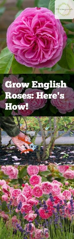 Grow English Roses: Here's How! Grow English Roses: Here's How! - Growing Roses, How to Grow Ros Growing Tomatoes In Containers, Growing Vegetables, Gardening For Beginners, Gardening Tips, Sustainable Gardening, Xeriscaping, Growing Roses, Tomato Garden, Garden Pictures