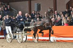Dutch Harness Horse stallion Ditisem
