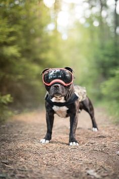Staffordshire bull terrier fotografert med kule RexSpecs og militær klær!   #staffordshirebullterrier #rexspecs #armydog Staffordshire Bull Terrier, Family Dogs, Dog Photography, Boston Terrier, Cute Dogs, French Bulldog, Fine Art, Animals, Studio