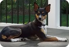 Huntingtown, MD - Rat Terrier Mix. Meet Jasmine, a dog for adoption. http://www.adoptapet.com/pet/10850153-huntingtown-maryland-rat-terrier-mix