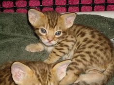 JumpnSpots Ocicats offer the finest spotted kittens available in Southern California Ocicat, We Love Each Other, Cattery, Cool Cats, Kittens, Adoption, Cute Animals, Photos, Pictures