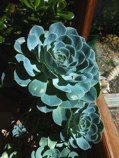 Succulent 'Echeveria'