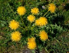 The Dandelion.  In Chinese medicine it is called Pu Gong Ying.  In Ayurveda--or East Indian medicine--the Sanskrit word for dandelion is Atirasa.