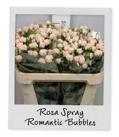 Spray Rose Romantic Bubbles - Holex Insights newsletter week 15