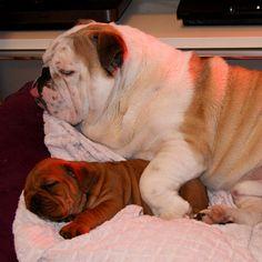 Englische Bulldoggen Attila & Cleo  Nach so viel Stress erstmal ein kleines Schläfchen       Mehr lesen: http://d2l.in/7f  dogs2love - Gassi gehen zum Verlieben. Partnerbörse für alle, die Hunde lieben.  Bild, Hund, Rasse, Single