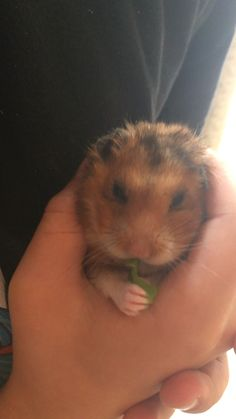 Eatin some lettuce Hamster Pics, Bear Hamster, Hamster Care, Fluffy Animals, Cute Baby Animals, Animals And Pets, Funny Hamsters, Lovely Creatures, Animal Memes