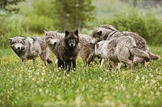 The black color in wolves came from breeding with domestic dogs.