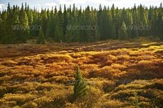 Colorado Meadow ... colorado, fir, forest, forestry, grassland, horizontal, land, lands, landscape, meadow, mountains, natural, nature, plants, rocky mountains, spruce, summer, sunset, timber, tree line, trees, wild, wilderness