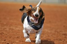 HA HA HA! if you ever need a good chuckle, watch a basset hound run. =o]