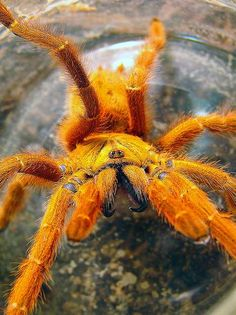 Orange Baboon Tarantula. Terrifying! and Awesome!
