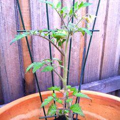 Tomato - Day 10