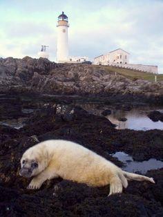 Fair Isle, Scotland: Stevenson's South Lighthouse & seal