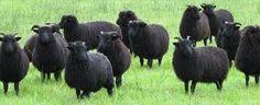 sheep herd - Google Search