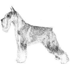 Standard Schnauzer Breed Standard Illustration (for allergies)