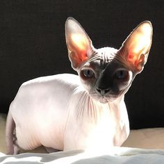 The Daily Nude! 11.13.16  Thanks @lola_simone_  Lovin the sunshine! ❤️ #sphynxlair . . . . . #catday #instacute #lovecats #share #catloversclub #catlove #catstagram #lifeisgood #followme #igers #instagramcats #gato #wrinkles #instacute #buzzfeed #trendy #catselfie #kittycat #cats_of_instagram #thedailykitten #sphynxoftheday #happy #bestmeow #cat_features #topcatphoto #picoftheday #buzzfeed #catlife