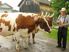 jersey dairy | Polled: A breed that naturally does not grow horns. Cattle can damage ...