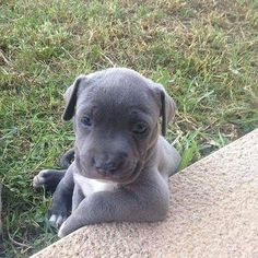 Uplifting So You Want A American Pit Bull Terrier Ideas. Fabulous So You Want A American Pit Bull Terrier Ideas. Cute Baby Animals, Animals And Pets, Funny Animals, Cute Puppies, Cute Dogs, Dogs And Puppies, Doggies, Pit Bull Puppies, Bulldog Puppies