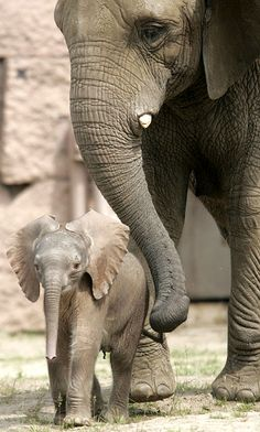 Elephant, Elephant Baby. gentle giants. saw  a large herd of these in Africa and couldn't hear a sound.... Amazing!