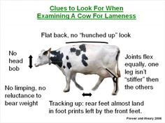 #4 Lameness Clues Cow Pic Livestock Judging, Dairy Cattle, Cows, Animals, Animales, Animaux, Animal, Animais