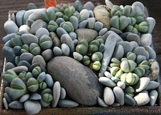 Living Stones - Lithops **Most tropic or succulents are not pet or child friendly plants, please check the plants safety for its environment .....