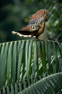 "Sv Hoatzin The New World Hoatzin (Ophisthocomus hoazin) is a ""tropical bird found in swamps, riparian forests, and mangroves of the Amazon and the Orinoco Delta in South America."" The Hoazin is also called 'stinkbird' or the Canje pheasant."