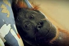 "I just saw an amazing short documentary: Green. The award-winning movie is about the devastating effects of deforestation and greed in Indonesia, seen ""through the eyes"" of a dying orangutan. It is upsetting, but it needs to be. It's available on huluplus and I should imagine other places where you watch streaming movies. Please watch it."