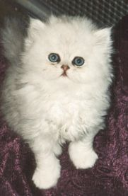 Chinchilla Cat Breed - Cat Pictures & Information
