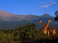 Giraffes, Arusha National Park