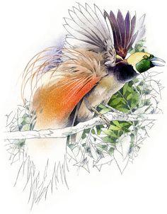 Items similar to Bird of Paradise (Raggiana's) watercolour - bird wildlife art - nature print of original artwork on Etsy Nursery Paintings, Animal Paintings, Bird Drawings, Animal Drawings, Nature Prints, Art Nature, Bird Of Paradise Tattoo, Basic Painting, Owl Pet