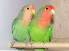 Oiseaux, Inséparables : Inséparable à face rose