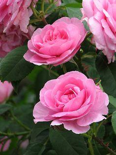 Rose Gertrude Jekyll   Flickr - Photo Sharing!