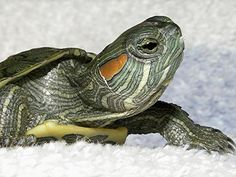 If you own or will own baby red eared sliders, it is important to make sure you prepare yourself. Baby red eared sliders can bring you great. Baby Red Eared Slider, Yellow Bellied Slider, Map Turtle, Turtle Love, Kawaii Turtle, Cute Baby Turtles, Freshwater Turtles, Tortoise Turtle, Creature Comforts