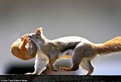 squirrel baby with its barely open eyes can be seen curled up in its mother's jaw as she transports it to a new home