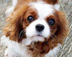 Becky - Greater Chicago Cavalier Rescue