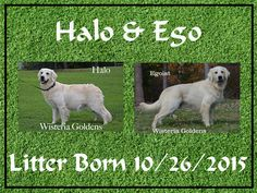 Halo/Ego – Litter Born 10/26/2015 3 girls and 8 boys. Currently we have 3rd pick female and 3rd pick male available. Ready for new homes 12/21 http://wisteriagoldens.com/available-puppies/english-cream-golden-retriever-puppies-for-sale-halo-litter/ #englishcreamgoldenretriever #puppiesforsale