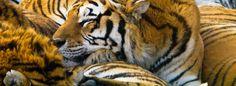 facebook timeline cover Sleeping Tigers Sleeping Tigers facebook timeline cover 849 X 312