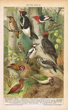 100 + year old chromo lithograph depicting 11 kinds of woodpeckers.