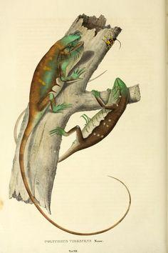 Descriptiones et icones amphibiorum. - Biodiversity Heritage Library: