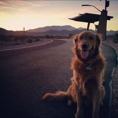 Look at this cute golden retriever hitchhiking Red Rock, Las Vegas